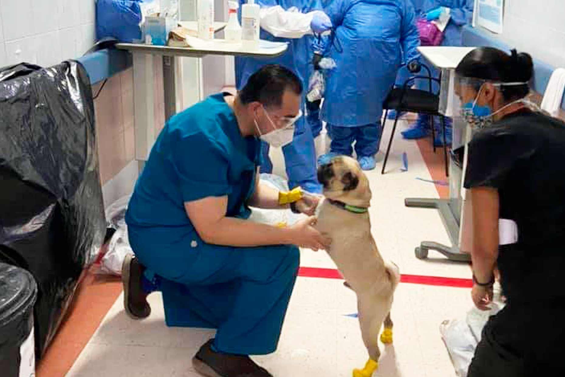 Conheça o cachorro terapeuta que ajuda médicos da linha de frente