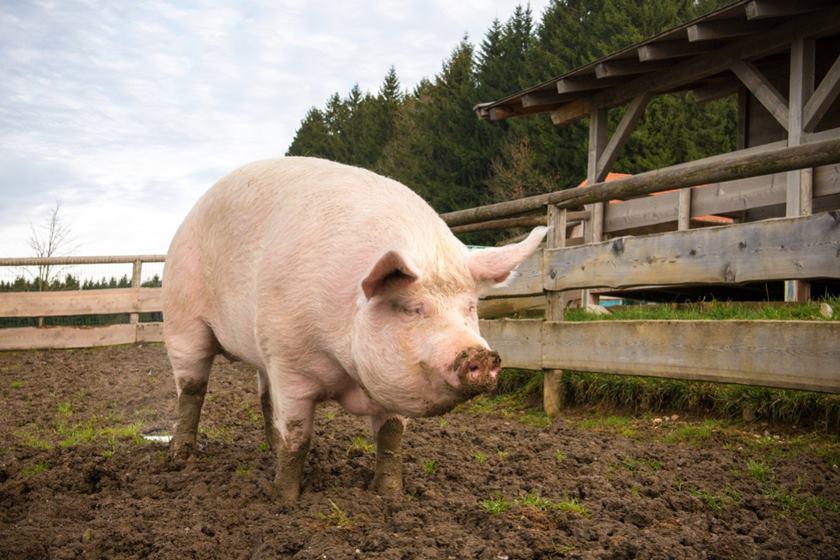 Novo vírus achado em porcos na China tem elo com H1N1 que causou mortes em 2009